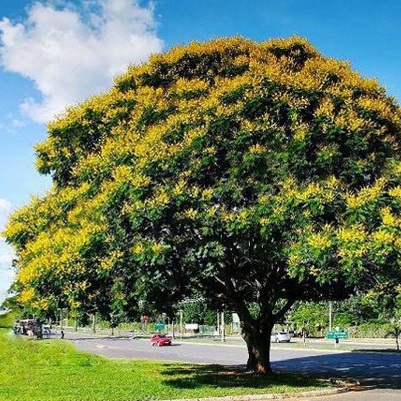 Árvore canafístula